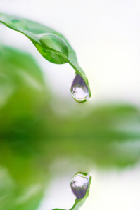 By iamharin, Drops Of Water From The Leaves Stock Photo