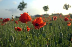 Canadian physician Lieutenant Colonel John McCrae penned this poem—perhaps the most memorable words of the Great War—after burying a friend who died in the Second Battle of Ypres. Flanders Field Poppies courtesy of Tijl Vercaemer.