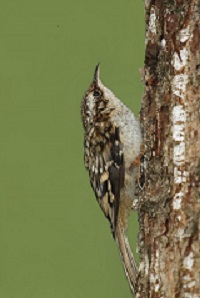 200px Alan Vernon Brown_creeper_(Certhia_americana)