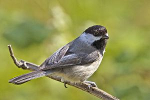 Blacked-Capped Chickadee, Iona Beach Regional Park, Richmond, British Columbia http www.naturespicsonline.com 640px-Chickadee